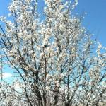 شکوفه دادن درختان بادام درشهرستان گیلانغرب +تصایر