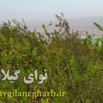 به بار نشستن درختان مورد در گیلانغرب+ تصاویر