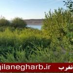 """ضرورت حفاظت از""""موردستان """"شهرستان گیلانغرب به هنگام ثمردهی"""