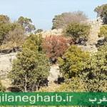 خزان دیرهنگام جنگل ودرختان درشهرستان گیلانغرب