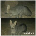 مشاهده نایاب ترین روباه دنیا در منطقه شکار ممنوع زله زرد گیلانغرب+تصاویر