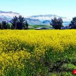 تصویری زیبا از مزارع کلزا شهرستان گیلانغرب