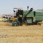 پایان برداشت گندم درمناطق گرمسیری شهرستان گیلانغرب