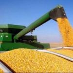 پیش بینی ۳۵۰۰ تن ذرت دانه ای از مزارع شهزستان گیلانغرب