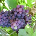 برداشت انگور یاقوتی در باغات گیلانغرب آغاز شد