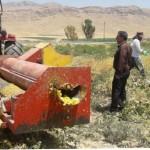 پیش بینی برداشت ۱۰ تن تخم کدوی آجیلی در مزارع شهرستان گیلانغرب